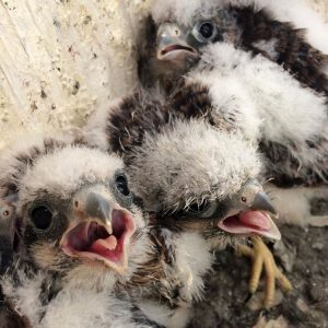 Kestrel chicks in the nest box, 2017. Photo by Sara DePew-Bäby.