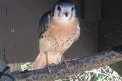 Kellogg Bird Sanctuary's 'fierce falcon' a new sight for visitors