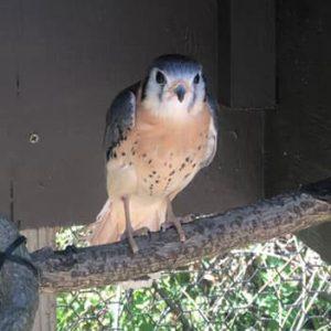 Kestrel sitting on a perch