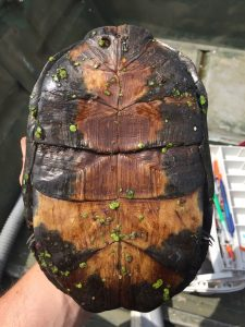 Blanding's Turtle with marked shell