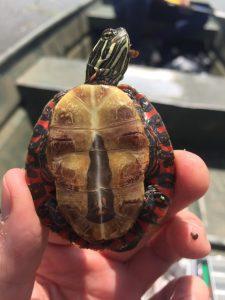 Painted Turtle plastron