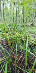 Carex lupulina