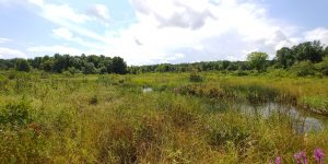Sedge meadow in Kalamazoo County
