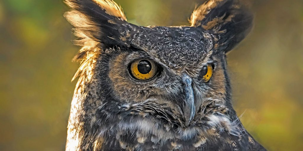 Close-up photo of a great horned owl. Credit Roy Van Loo Jr.