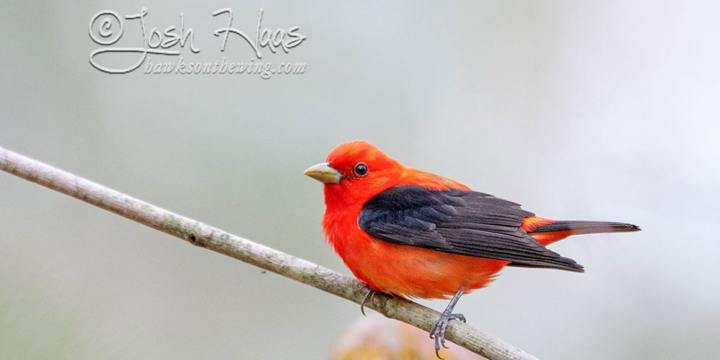 Scarlet Tanager against a light background, credit Josh Haas.