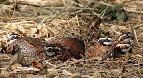 A covey of Northern Bobwhites rest in leaf litter in a circular formation, facing outward.