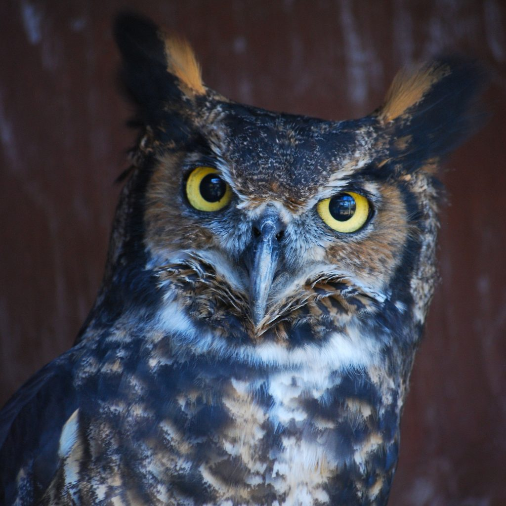 A close-up of the head and shoulders of Virginia, a Great Horned Owl.