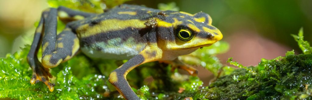 Close-up of a brown and green striped frog on mosos.