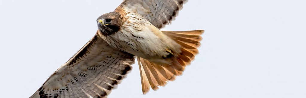 Close-up of a Red-tailed Hawk in flight. Credit to Skyler Ewing.