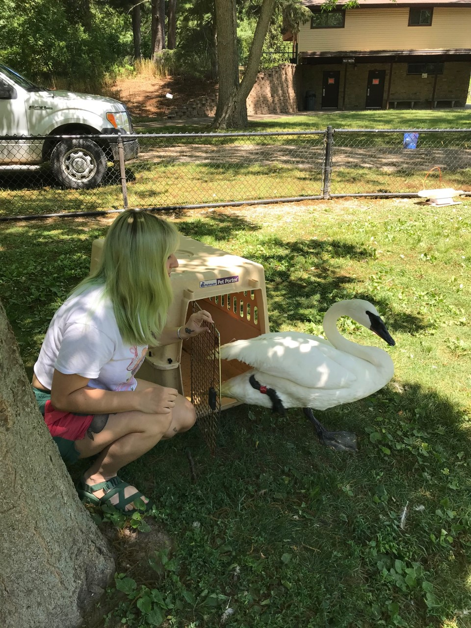 Intern Cheyenne releasing one of our permanent swans from a crate.