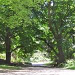 2011 - Turkish Filbert Trees