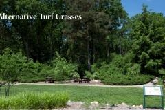 Alternative Turf Grasses